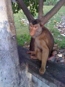 Biting SIM card monkey in Bali