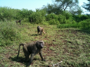 Baboons outside of the Ethiopian Crocodile Market
