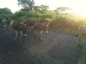 Donkeys en route