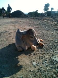 A lazy calf