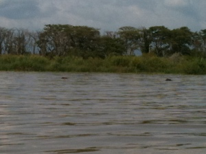 Peeking hippos, who can be seen with as many as 14 other companions