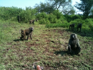 More baboons!