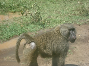Cute baboon butt